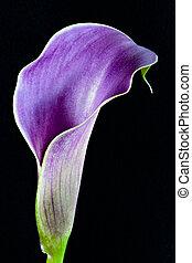 púrpura, lilly, calla