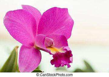 púrpura, magenta, orquídeas, raro, cattleya