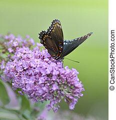 púrpura, mariposa, almirante, red-spotted