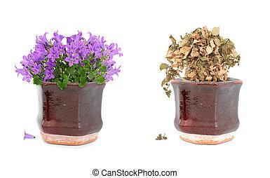 púrpura, olla, flores, vivo, muerto