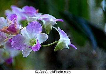 púrpura, orquídeas