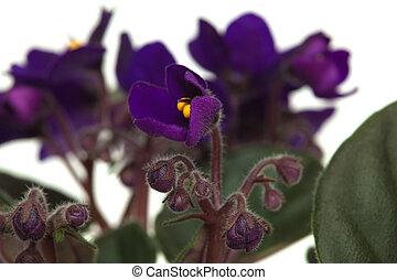 púrpura oscura, aislado, saintpaulia, plano de fondo, blanco