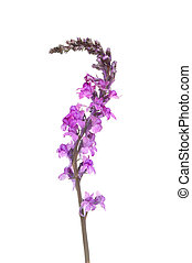 púrpura, toadflax