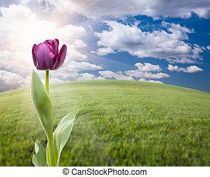 púrpura, tulipán, encima, campo de la hierba, y, cielo