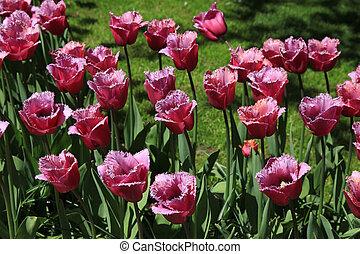 púrpura, tulipanes, en, keukenhof, jardín, parque, países bajos, holanda