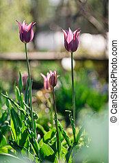púrpura, tulipanes
