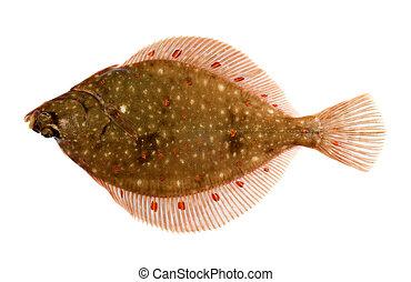 Płastuga,  fish