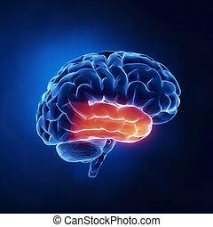 płat, świecki, -, mózg, ludzki, rentgenowski, prospekt