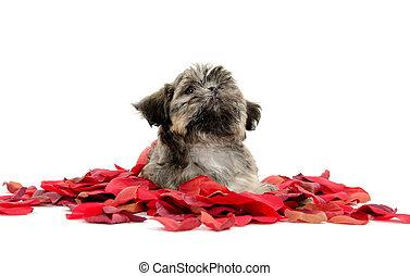 płatki, shih tzu, szczeniak, róża