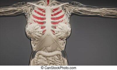 płuca, ludzki, rentgenologia, egzamin