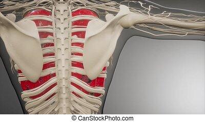 płuca, rentgenologia, ludzki, egzamin