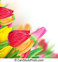 překrásný, kytice, o, tulips.