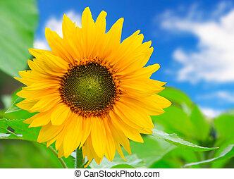 překrásný, list, nezkušený, slunečnice