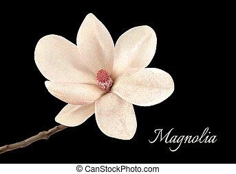 překrásný, neposkvrněný, magnólie, květ, osamocený, dále, jeden, čerň, grafické pozadí., vector.