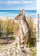 překrásný, pláž, klokan, vzdálený, australský