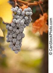 překrásný, zrnko vína, slunit se, bujný, ráno, vinice, mlha