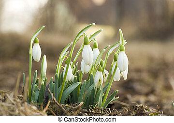 původ přivést do květu, sněženka