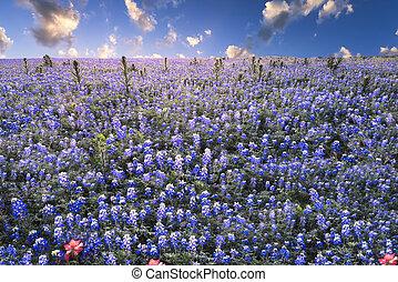 país, tejas, colina, bluebonnets