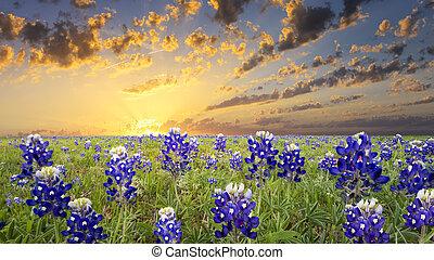 país, texas, colina, bluebonnets