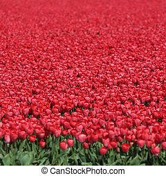 países bajos, campo, primavera, tulipán, flor, tulipanes, flores, rojo
