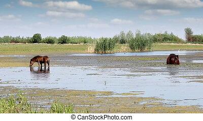 paître, cheval, rivière, poulain