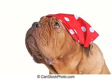 pañuelo, mendigar, perro, rojo