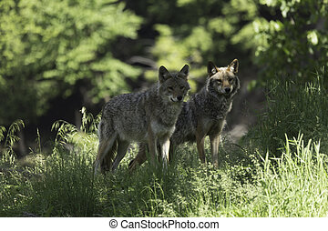 paar, coyotes