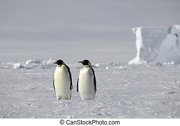 paar, kaiser pinguin