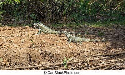 paar, leguane, pantanal, riverbank, brasilianisch