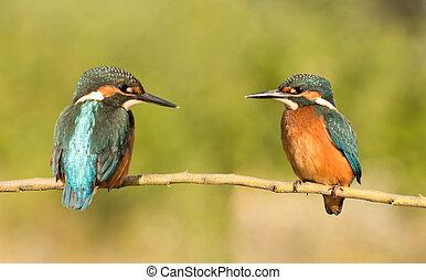 paar, nature., eisvögel