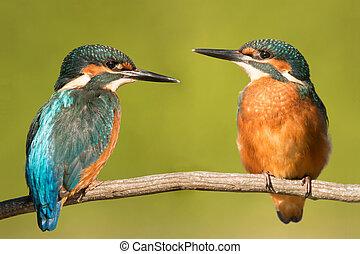 paar, nature., kingfishers