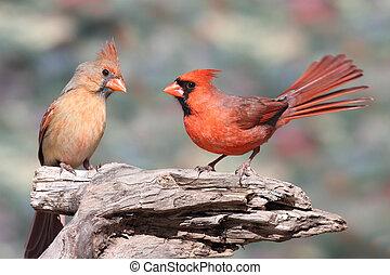 paar, noordelijke kardinalen