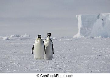paar, pinguin