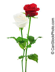 paar, roses., wit rood, &