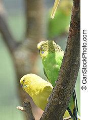 paar, von, grün, und, gelber , wellensittich, sitzen, in, a, baum