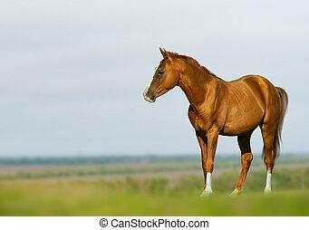 paard chestnut, jonge, akker