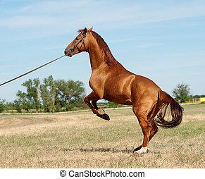 paarde, achterkant