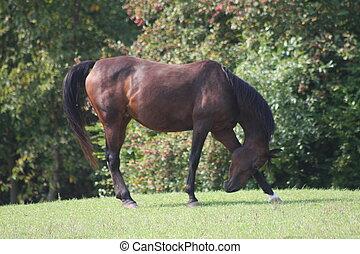 paarde, arabisch, stokvoering