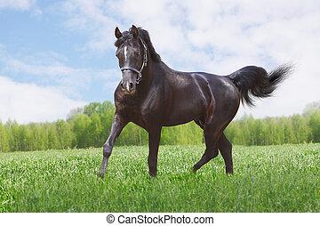 paarde, black