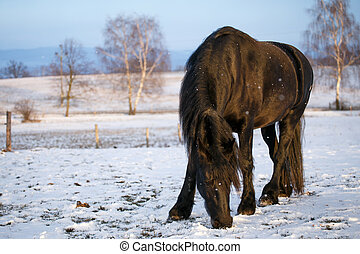paarde, friesian, winter