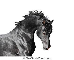 paarde, hengst, vrijstaand, arabier, zwarte achtergrond, witte