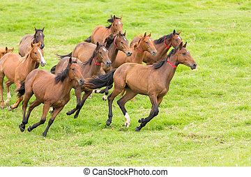paarde, kudde, rennende , op, de, akker