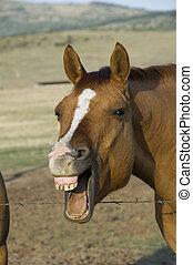 paarde, lachen