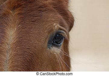 paarde, oog, closeup