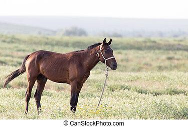 paarde, op, wei