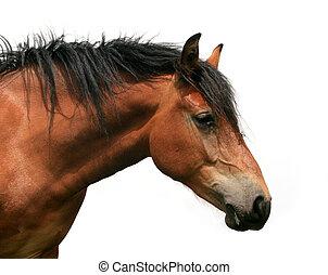 paarde, torso
