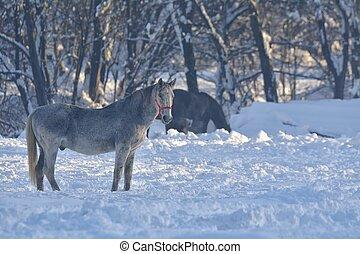 paarde, witte , ondergaande zon , sneeuw