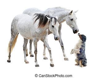 paarden, australiër, camargue, sheepdog