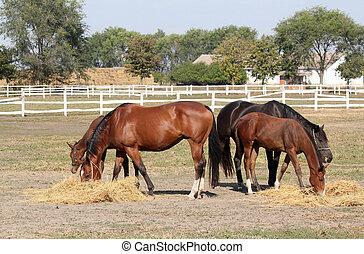 paarden, boerderij, scène