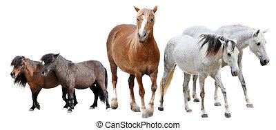paarden, en, pony's